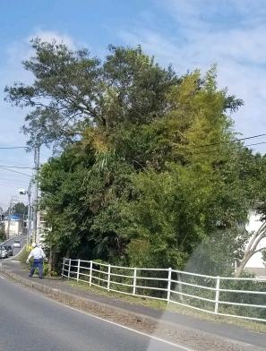 台風後の木